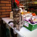 上本町の八百屋の猫